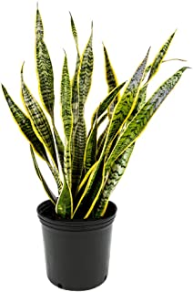 AMERICAN PLANT EXCHANGE Sansevieria Trifasciata Laurentii Live Plant, 3 Gallon, Indoor/Outdoor Air Purifier