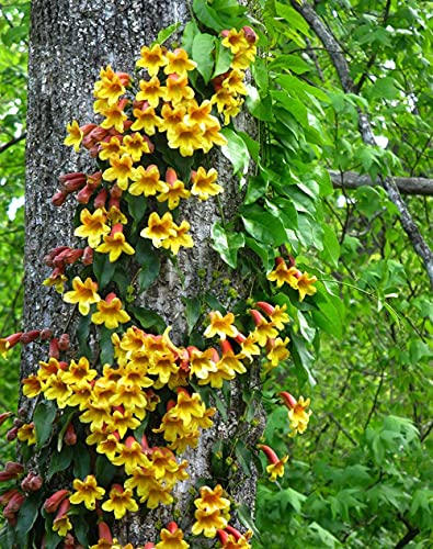 Lịvẹ CrossVinẹ Bignonia Capreolata Tangerine 2 Plạnts, Yellow Orange Color Flọwẹr Outdoor