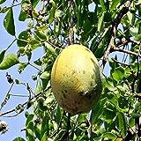 ベルノキの苗木18cmポット 2年生実生苗 樹高約30cm1本売り (鉢植えなのでほぼ年中植付け可能)【果樹 2年生 実生苗/即出荷】ベルノキはインドが原産で 熱帯アジアに広く分布するミカン科の落葉性中高木です。外皮が石のようにとても固いので 英語名を「ストーンアップル」とも呼ばれています。実は直径6~10cmの卵形または楕円形で 熟すと黄緑色になり マンゴーのような香りで 割ってそのままスプーンなどで食べると 甘くて美味です。インド ベンガルでは 『ベル(Bael)』と呼ばれていて アーユルヴェーダなど広範囲に利用されています。樹高は剪定により調節可能。成木の耐寒性は -2℃程度だとされていますが 苗木の耐寒温度は2℃程度です。生育温度:10~35℃。鉢植えにして冬期は夜温10℃以下になる前に陽の差し込む室内窓辺に入れてください。冬季に落葉する場合がありますが 株が生きていれば春に新芽が吹きます。(耐寒性はあくまで目安です。毎年の気候や地域により変わります。ご了承ください)【自社農場から新鮮苗直送 】【即出荷】