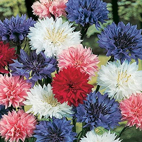 Semillas para Germinar Brotes,Semillas de Aciano de Plantas fáciles de Vivir-0.25kg_Color Mixto,Perennes Semillas De Flores