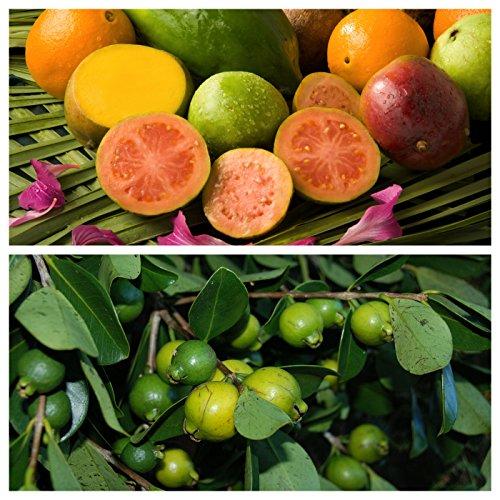 Psidium Guave, Echte Guave 30 frische Samen, BIO hu-öko-01