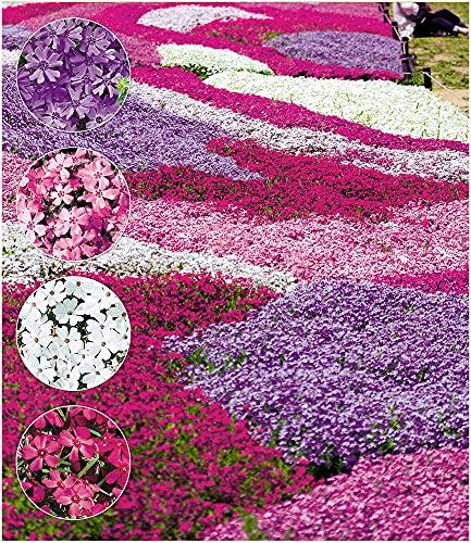 BALDUR Garten Winterharter Bodendecker Phlox-Mix Flowers of The Sea, 4 Pflanzen, Polsterphlox Polster-Flammenblume Polsterstauden Teppichphlox Moosphlox mehrjährig, Phlox subulata