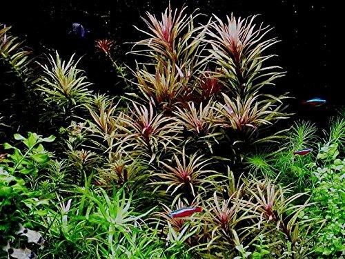 Eusteralis Stellata Grof x1 bunch - Live aquarium plant