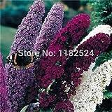 20 colori misti farfalla Bush Buddleia Davidii semi di fiore in vaso Bella BonsaïPianta giardino domestico di DIY