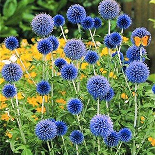 Inovey 100 Pcs Cebolla Gigante Allium Giganteum Planta Semillas Hogar Jardín Plantas Semillas De Flores Coloridas - 3: Amazon.es: Iluminación
