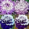 AGROBITS 50 Pz Dalia semi di fiore di bellezza facile da coltivare il giardino domestico di fiori freschi Ka #2
