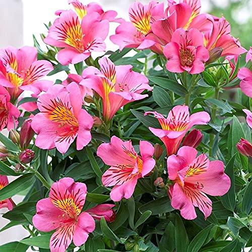 Alstroemeria Colorita Eliane - Peruvian Lily | Herbaceous Potted Garden Plant (10-20cm Incl. Pot)