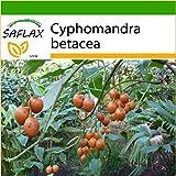 SAFLAX - Tomate de árbol - 50 semillas - Con sustrato estéril para cultivo - Cyphomandra betacea