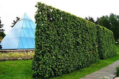 Hainbuche Hainbuchenhecke Topfware 30-50 cm hoch im Rabatt-Paket - Carpinus betulus, floranza® 25 Stück