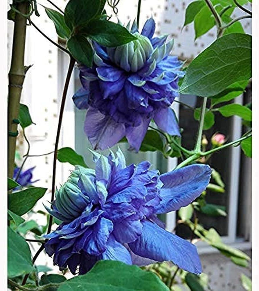 3 Piezas nuevas variedades de bombillas de Clematis de luz azul atractivo tipo compacto flor azul claro perenne escalada jardín balcón decoración