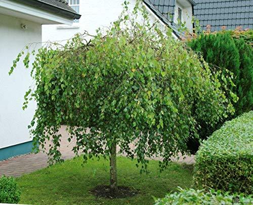 Betula pendula Youngii Trauerbirke Hängebirke Birke verschiedene Größen auf Stamm (Stammhöhe 125 cm)
