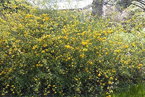 Gefüllter Ranunkelstrauch Kerria japonica 'Pleniflora' im Topf gewachsen ca. 40-60cm