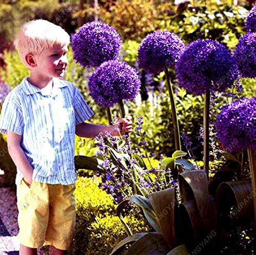 100 PCS/Sac oignon Graines géant Allium Graines Multicolor Balcon Fleurs belles plantes en pot de jardin à la maison rouge