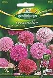 Grasnelke, Armeria pseudoarmeria, ca. 30 Samen