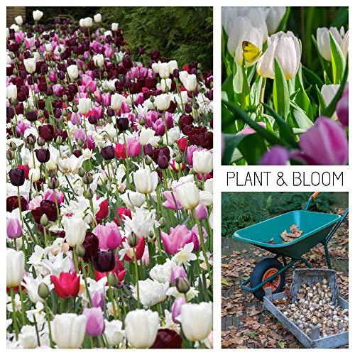 Plant & Bloom Tulpenzwiebeln aus Holland, 30 Zwiebeln - Tulpenmischung - Einfach zu züchten - Zum Pflanzen im Herbst - Hochwertige holländische Tulpenzwiebeln