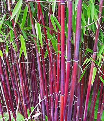 Inkeme Giardino - 100 pezzi Exotic Winter Hardy Bamboo Seeds \'Chinese Wonder\' Red/Golden/Black / \'Blue Dragon\' / Bamboo Ornamentali piante perenni per il vostro giardino e casa