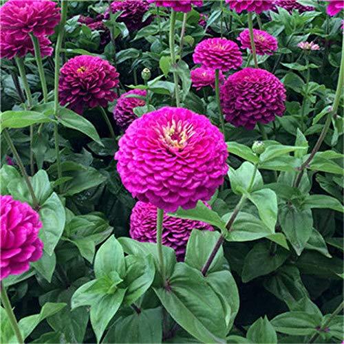 XINDUO Steingarten & Staudenbeet,Gartenbalkon Pflanze Zinnie Blume Samen-Rose Red_100g,mehrjährig winterhart Samen
