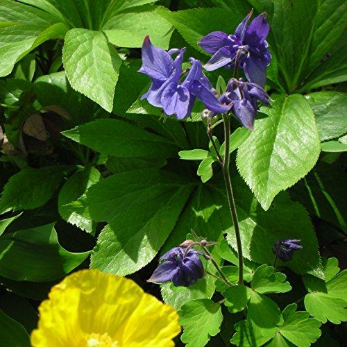 Blumixx Stauden Aquilegia vulgaris - Akelei, im 0,5 Liter Topf, blau-violett blühend