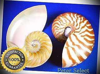 Center Cut Tiger Nautilus Shell Seashell (5-6