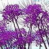 パープルリコリス球根庭の装飾天然DIY植物根茎香りのよい耐性,20球根