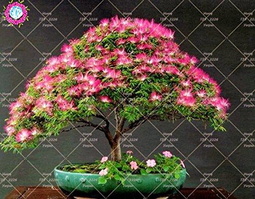 10 pcs Bonsai Albizia julibrissin Belle Graines de fleurs Acacia Graines de fleurs vivaces d'intérieur Plante en pot pour jardin 2