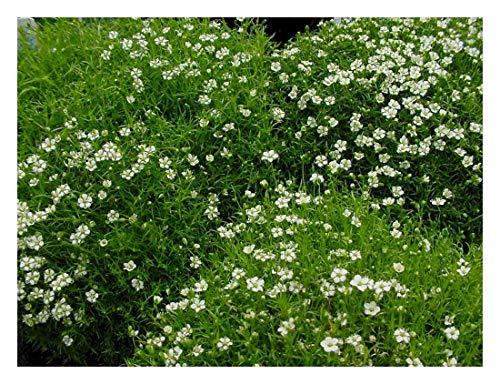 10 x Sagina subulata (Bodendecker/Stauden) Sternmoos