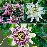 Passiflora (Passion Flower)