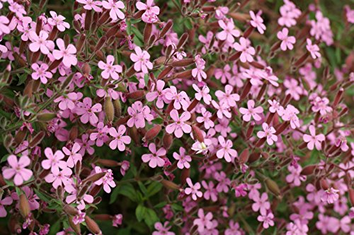 Saponaria Ocymoides Seeds - Soapwort Rock - Tumbling Ted - 250 Semillas