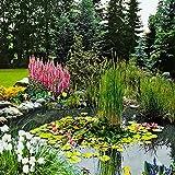 3x Plantes de bassin oxygénantes   3 variétés de plantes aquatiques   Hauteur 30-40cm   Panier de plantation Ø 18cm inclus