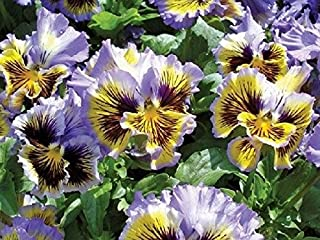 Fresh 100 seeds - Pansy Frizzle Sizzle Yellow/Blue Swirl Flower Seeds