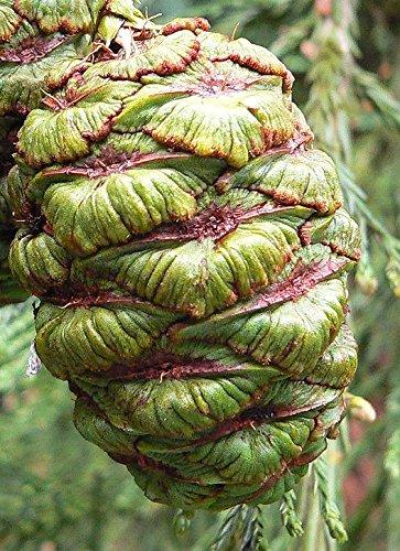 Riesenmammutbaum Sequoiadendron giganteum 60 Samen