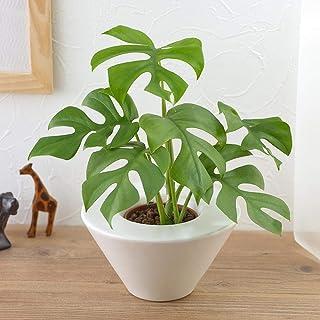 【日比谷花壇 観葉植物】お手入れかんたん観葉植物「ヒメモンステラ(ホワイト)」