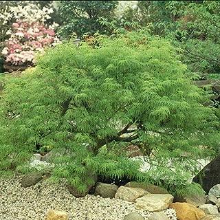Waterfall Japanese Maple - Live Plant - 2 Gallon Pot