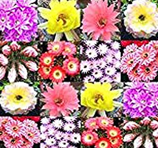 20 x Echinopsis Mixed Species Seed - Hedgehog Cactus, Easter Lily Cactus, sea-Urchin Cactus - Various Colors & Variations - Gorgeous Colors