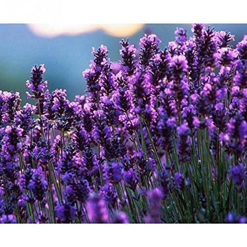 Français Graines Provence Lavande très parfumée de lavande bio Graines Graines de fleurs des plantes jardin Bonsai 200 PCS / sac