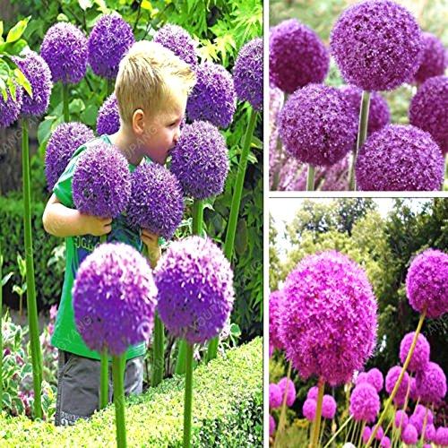 Nouvelle arrivée 100 PCS/Paquet Graines d'oignon exotique géant Allium Graines Multicolor Fleurs en pot (blanc vert violet) pour le jardin de la maison