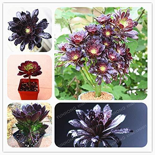 Aeonium Arboreum 100Pcs El mundo de las piedras negras raras Semillas de flores Semillas de Atropureum Plantas Jardín Hogar Semillas de bricolaje Bonsai