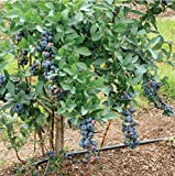 (1 Gallon) Titan Blueberry, Berries are Almost The Size of a Quarter- up to 4 Times The Size of Average Berries. Developed by UGA (University of Ga), Berry is not only Large but Delicious and Sweet.
