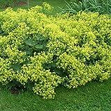 Qulista Samenhaus - Rarität Frauenmantel gelbgrün für Bienen | Bodendecker immergrün Alchemilla mollis Blumensamen Baum winterhart mehrjährig