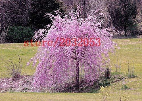 semillas del árbol de cerezo llorando semillas fuente 20 sakura, semillas de árboles bonsai japonés para el jardín de DIY árbol enano