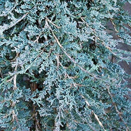 Juniperus Horizontalis 'Icee Blue' - Genévrier horizontal 'Icee Blue' 20-25 cm en conteneur
