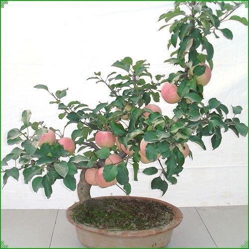 10 pcs / sac réel Géranium Seeds, Pluriannuel Flower Seeds bonsaï plante, pour les planteurs de fleurs de jardin en pot, ping