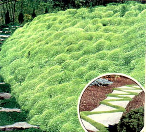 500 Seeds Irish Moss - Heirloom Seeds, Perennial Groundcover Seeds, Bulk Seeds, 500ct Pack