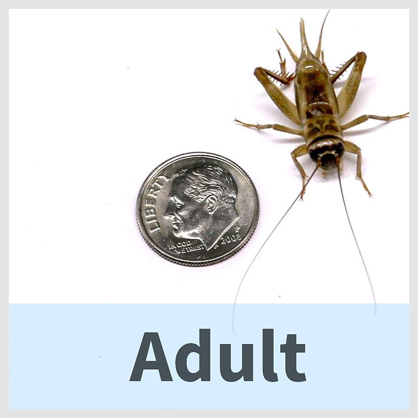 Ovipost 250 Live House Crickets - Six Size Options - Acheta domesticus