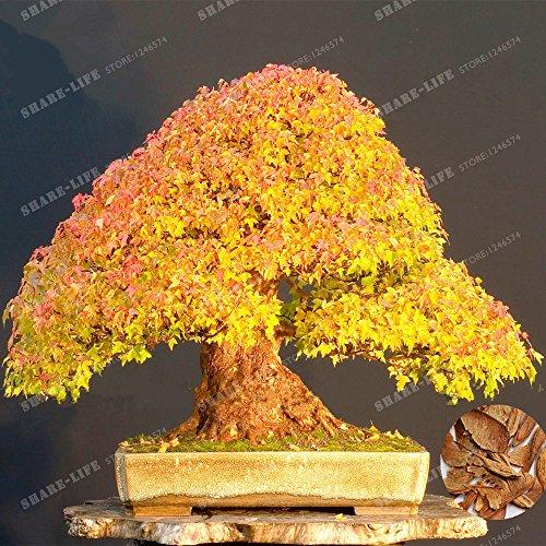 20/Paquet Graines Arbre d'Or jaune d'érable Bonsai Graines rares Maple Graines Outdoor plante Bonsaï Graine de bricolage pour jardin