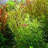 Mainam Rotala Wallichii Bundle Live Aquarium Plant Decorations for Tropical Freshwater Fish Tank