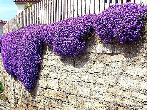 Semillas de Aubrieta Cultorum Cantidad: 100 piezas Color: púrpura, rosa, blanco, verde, rojo Temporada de floración: de abril a junio Perfecto para paredes de roca o decoración de jardines de jardines