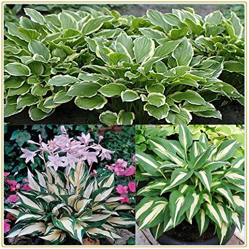 Hosta pianta Pianta da esterno Piante erbacee perenni(Senza semi)Lampadine per imballaggi misti-5 Rizoma