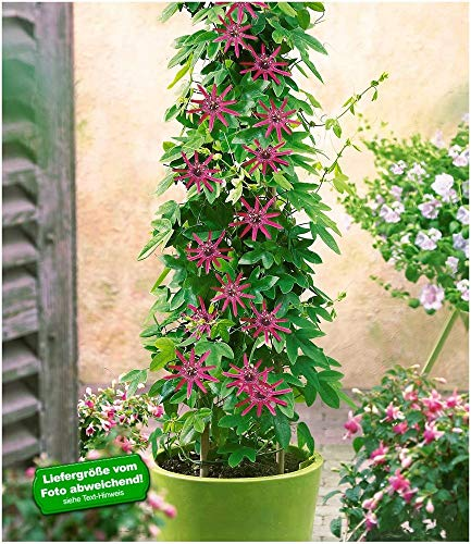 BALDUR Garten Winterharte Passionsblumen 'Ladybirds Dream', 1 Pflanze, Passiflora mehrjährig