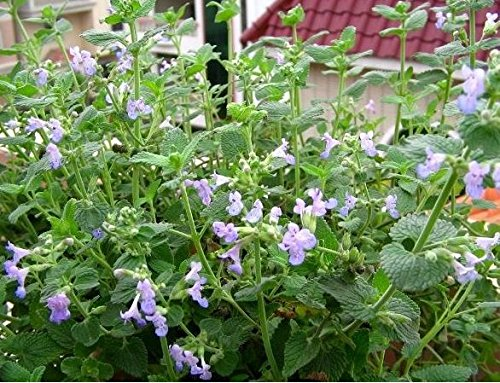 Pack 1 50 Seed cataire Graines Nepeta Cataria Herb Rare D033, Easy Grow perenial Bonsai Catmint, cadeau pour votre chat